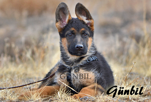Gunbil - Trained puppies for sale Pacco