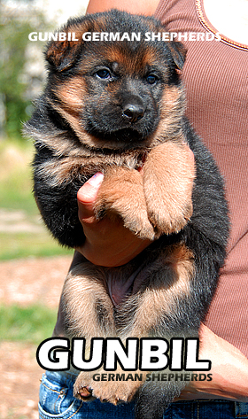 Breeding the best German shepherd puppies in Colorado