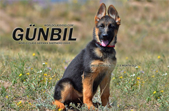 Gunbil German Shepherd puppies for sale in Colorado