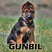 All About German Shepherd Puppies