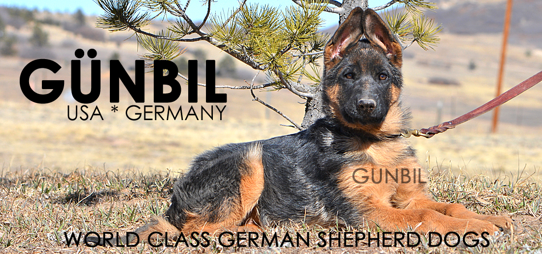 Gunbil German Shepherd Puppies