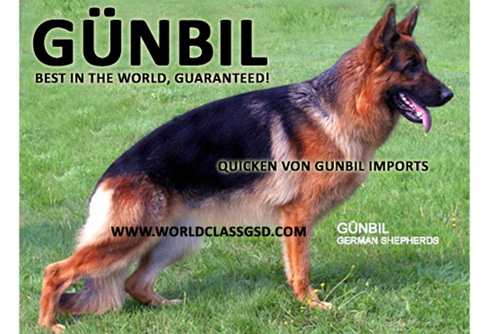 Trained German shepherds