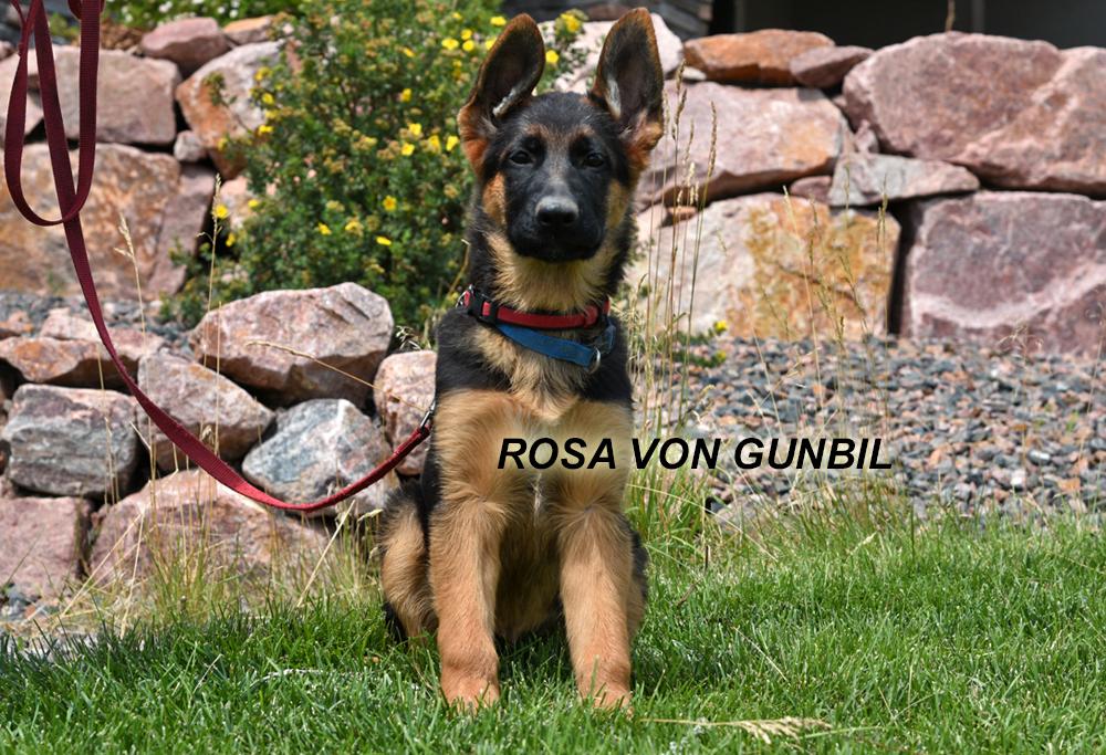 Trained German shepherd puppy