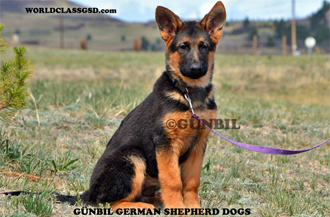 Select German Shepherd puppies