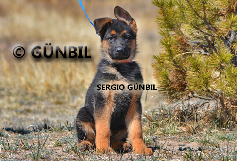 German shepherd puppies for sale - Sergio