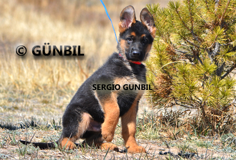 Gunbil - Trained puppies for sale Sergio
