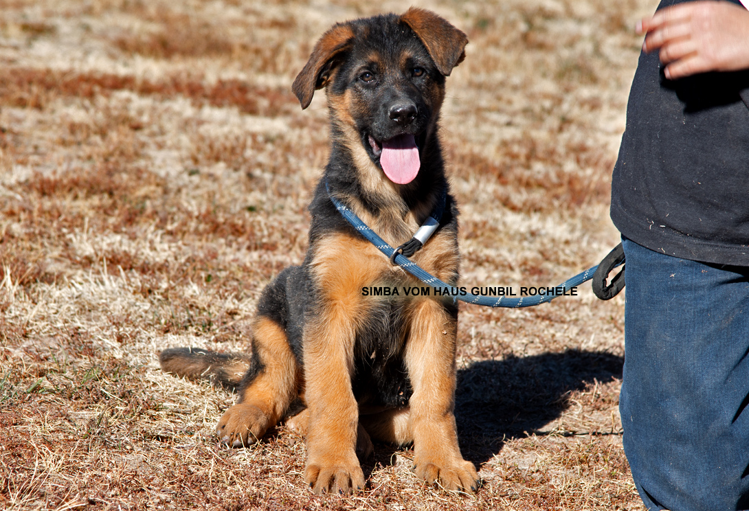 German shepherd puppies for sale - Simba