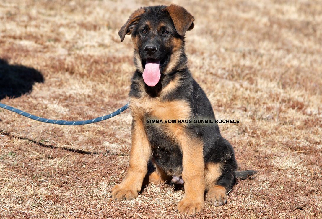 Gunbil - Trained puppies for sale Simba