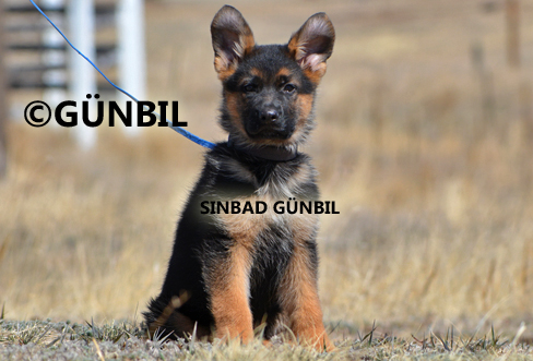 German shepherd puppies for sale - Sinbad