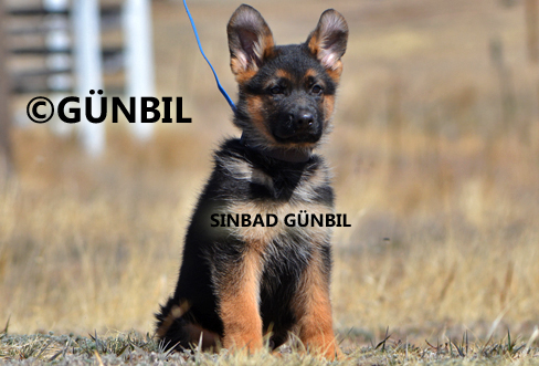 Gunbil - Trained puppies for sale Sinbad
