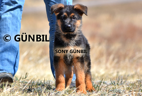 Gunbil - Trained puppies for sale Sony
