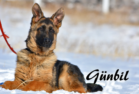 Gunbil - Trained puppies for sale Toro