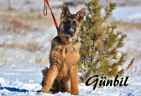 German shepherd puppies for sale - Toro