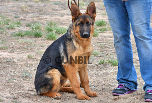 Gunbil - Trained puppies for sale Ulf