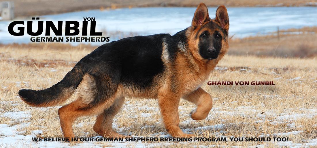 Gunbil German Shepherd Breeders Larkspur Colorado 80118