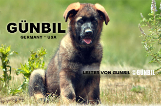 working line german Shepherd puppies