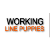 Working line german shepherd puppies from Germany