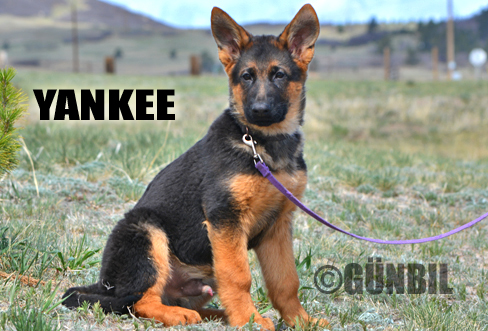 Gunbil - Trained puppies for sale Yankee