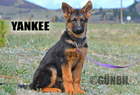 German shepherd puppies for sale - Yankee