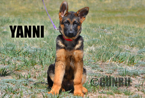 German shepherd puppies for sale - Yanni