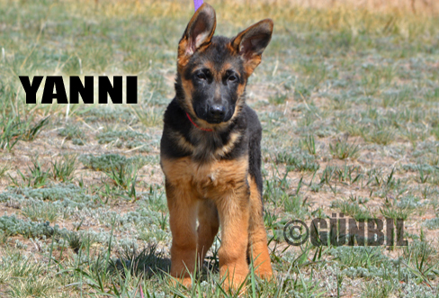Gunbil - Trained puppies for sale Yanni