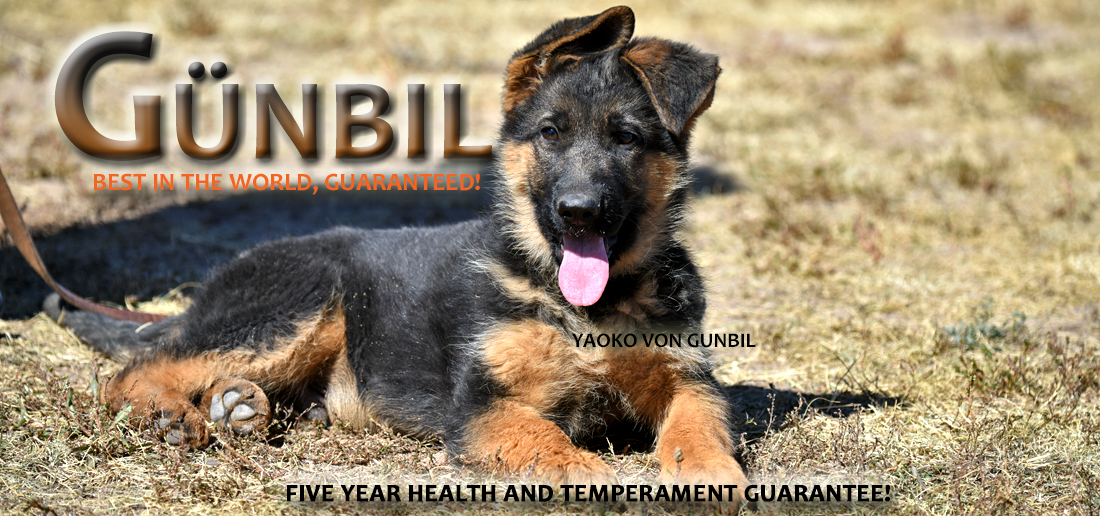 German Shepherd Puppies Colorado